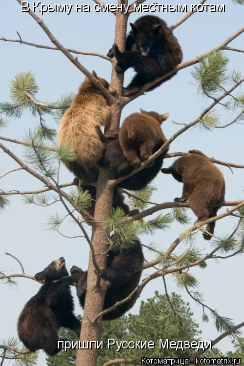 Котоматрица: В Крыму на смену местным котам пришли Русские Медведи