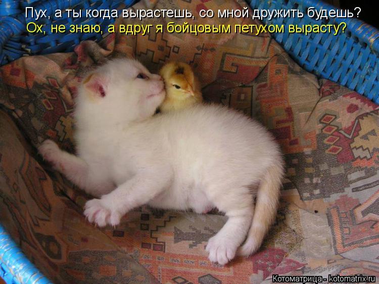 Котоматрица: Пух, а ты когда вырастешь, со мной дружить будешь? Ох, не знаю, а вдруг я бойцовым петухом вырасту?