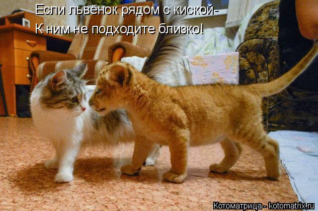 Котоматрица: Если львёнок рядом с киской- К ним не подходите близко!