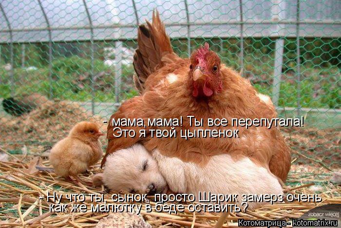 Котоматрица: мама,мама! Ты все перепутала!  Это я твой цыпленок -  - Ну что ты, сынок, просто Шарик замерз очень как же малютку в беде оставить?