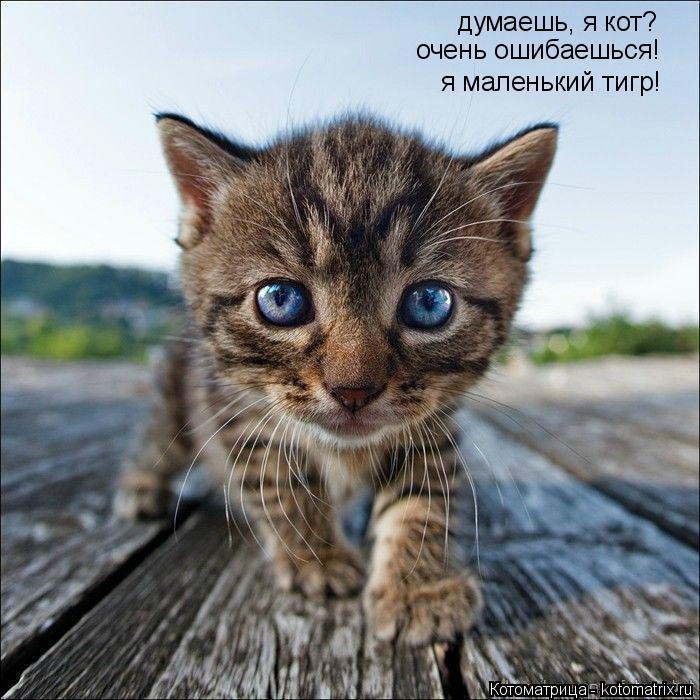 Котоматрица: думаешь, я кот? очень ошибаешься! я маленький тигр!
