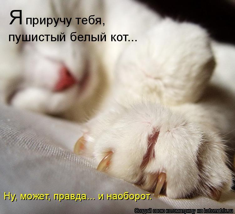 Котоматрица: Я  приручу тебя, пушистый белый кот... Ну, может, правда... и наоборот.