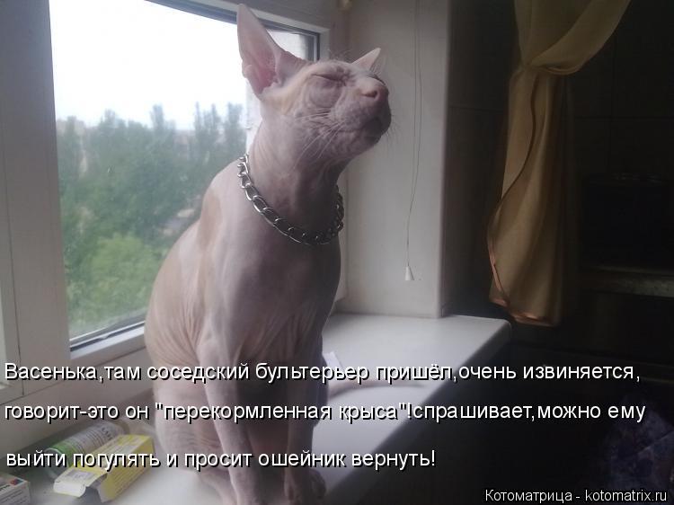 """Котоматрица: Васенька,там соседский бультерьер пришёл,очень извиняется, говорит-это он """"перекормленная крыса""""!спрашивает,можно ему выйти погулять и про"""