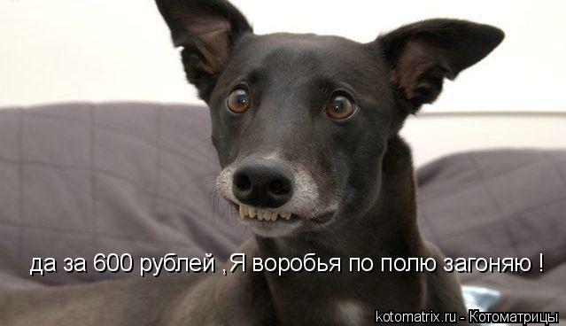 Котоматрица: да за 600 рублей ,Я воробья по полю загоняю !