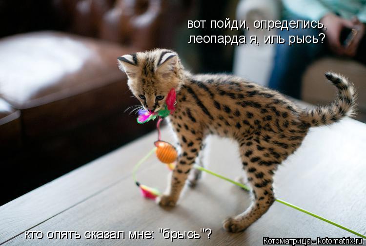 """Котоматрица: вот пойди, определись, леопарда я, иль рысь? кто опять сказал мне: """"брысь""""?"""