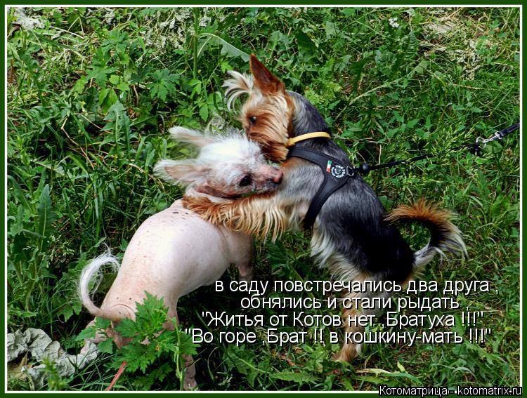 """Котоматрица: в саду повстречались два друга , обнялись и стали рыдать , """"Житья от Котов нет ,Братуха !!!"""" """"Во горе ,Брат !! в кошкину-мать !!!"""""""