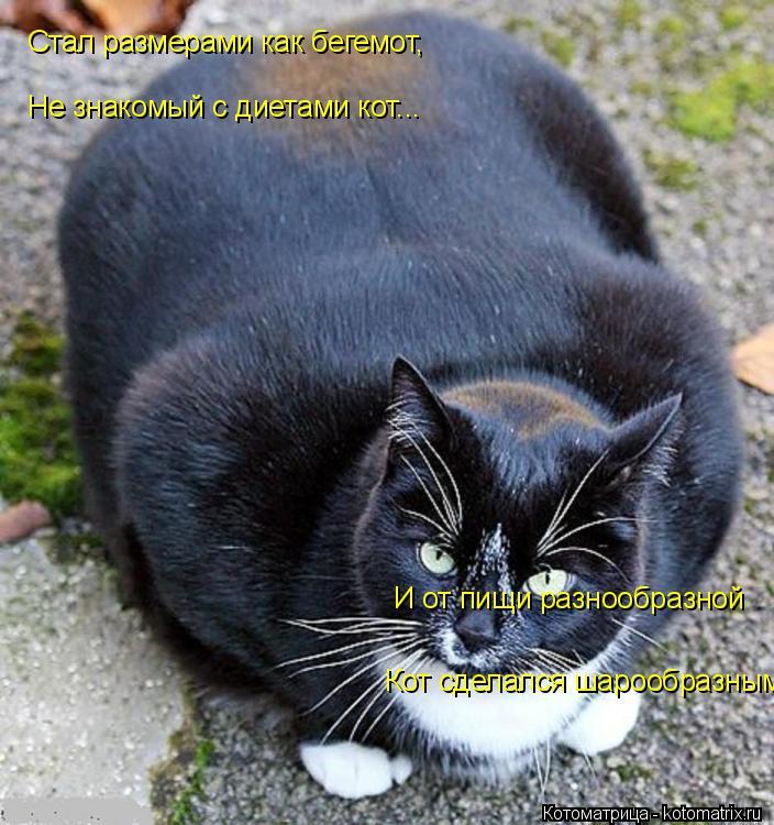 Котоматрица: Стал размерами как бегемот,    Не знакомый с диетами кот... И от пищи разнообразной    Кот сделался шарообразным.