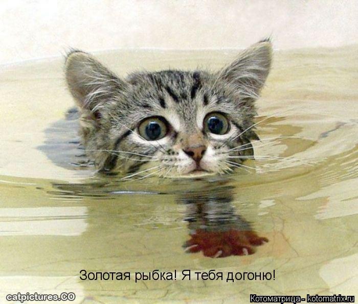 Котоматрица: Золотая рыбка! Я тебя догоню!