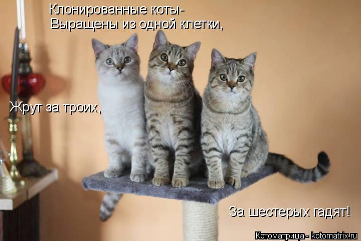 Котоматрица: Клонированные коты- Выращены из одной клетки, Жрут за троих, За шестерых гадят!