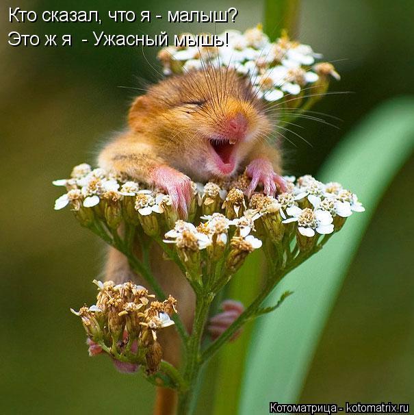 Котоматрица: Кто сказал, что я - малыш? Это ж я  - Ужасный мышь!