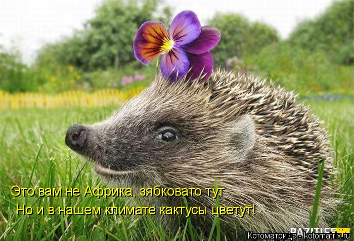 Котоматрица: Это вам не Африка, зябковато тут  Но и в нашем климате кактусы цветут!