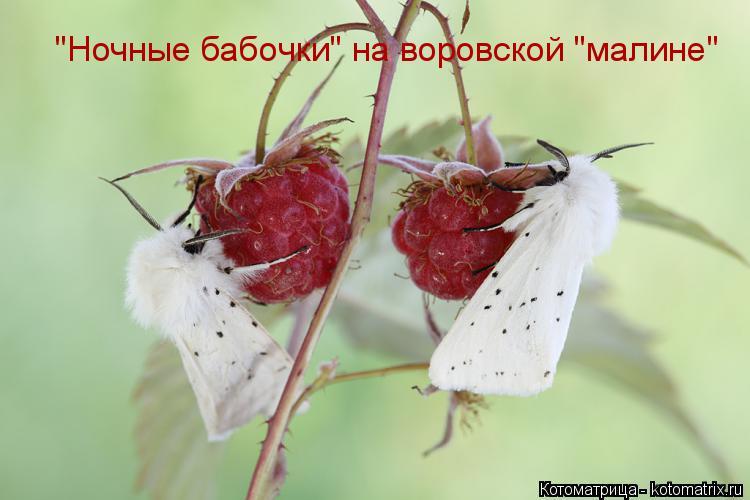 """Котоматрица: """"Ночные бабочки"""" на воровской """"малине"""""""