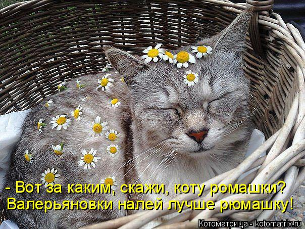 Котоматрица: - Вот за каким, скажи, коту ромашки? Валерьяновки налей лучше рюмашку!