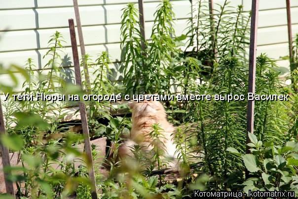 Котоматрица: У тети Нюры на огороде с цветами вместе вырос Василек