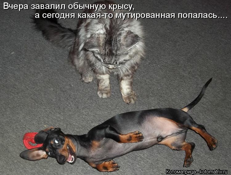Котоматрица: Вчера завалил обычную крысу, а сегодня какая-то мутированная попалась....