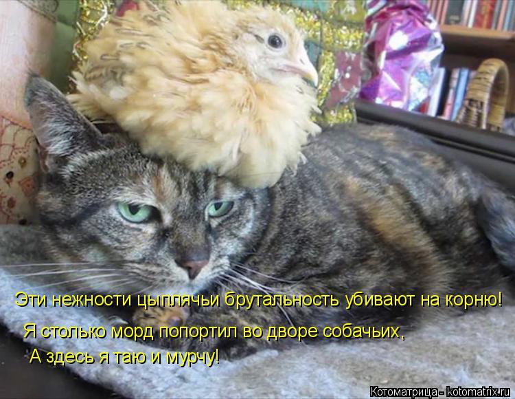Котоматрица: Эти нежности цыплячьи брутальность убивают на корню! Я столько морд попортил во дворе собачьих, А здесь я таю и мурчу!