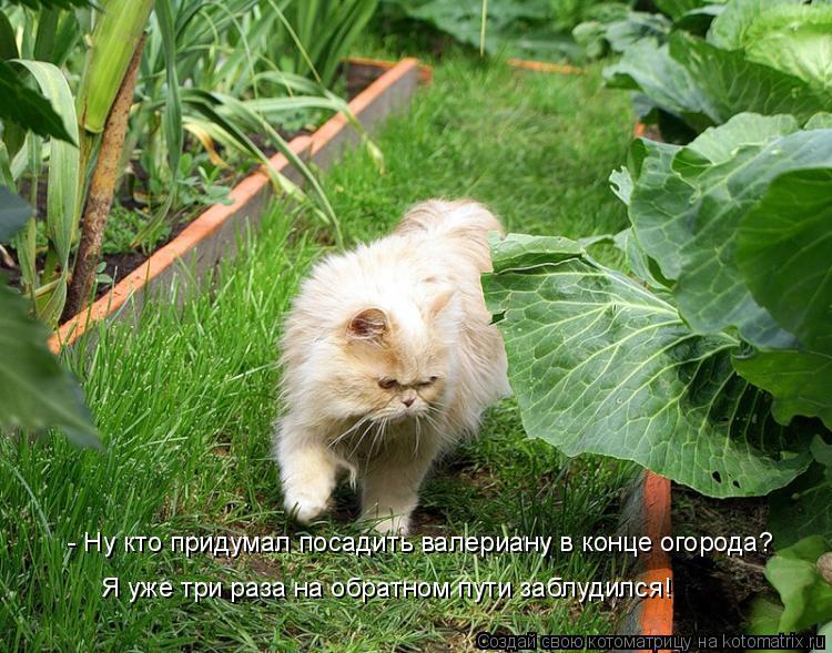 Котоматрица: - Ну кто придумал посадить валериану в конце огорода? Я уже три раза на обратном пути заблудился!