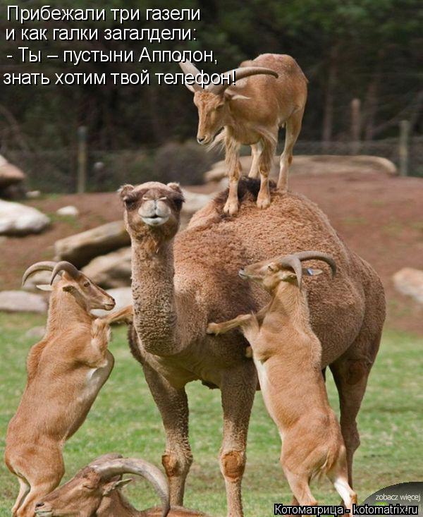 Котоматрица: Прибежали три газели и как галки загалдели: - Ты – пустыни Апполон,  знать хотим твой телефон!