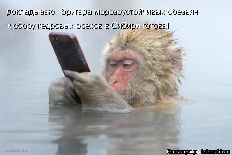 Котоматрица: докладываю:  бригада морозоустойчивых обезьян к сбору кедровых орехов в Сибири готова!