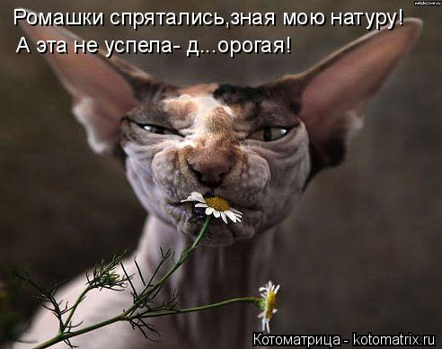 Котоматрица: Ромашки спрятались,зная мою натуру! А эта не успела- д...орогая!