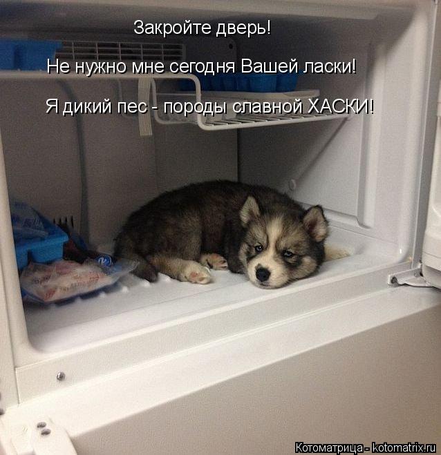 Котоматрица: Я дикий пес - породы славной ХАСКИ!   Закройте дверь! Не нужно мне сегодня Вашей ласки!