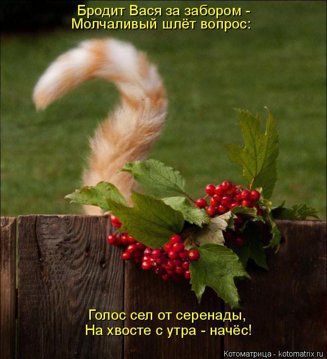 Котоматрица: Бродит Вася за забором - Молчаливый шлёт вопрос: Голос сел от серенады, На хвосте с утра - начёс!