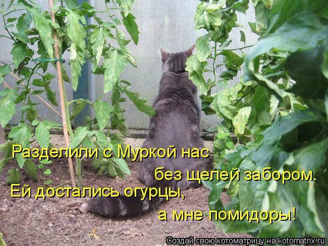 Котоматрица: Разделили с Муркой нас Ей достались огурцы, без щелей забором. а мне помидоры!