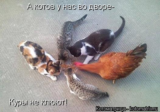 Котоматрица: А котов у нас во дворе- Куры не клюют!