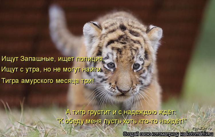 """Котоматрица: Ищут Запашные, ищет полиция. Ищут с утра, но не могут найти Тигра амурского месяца три! А тигр грустит и с надеждою ждёт: """"К обеду меня пусть х"""