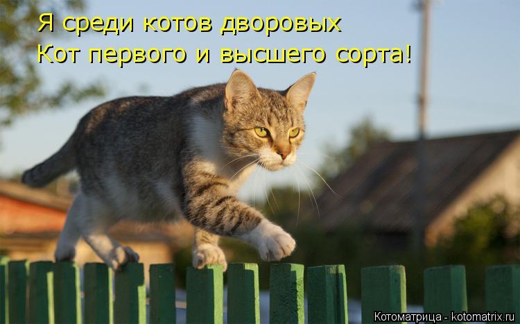 Котоматрица: Я среди котов дворовых Кот первого и высшего сорта!