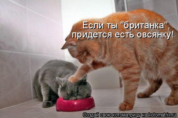 """Котоматрица: Если ты """"британка"""",  придется есть овсянку!"""
