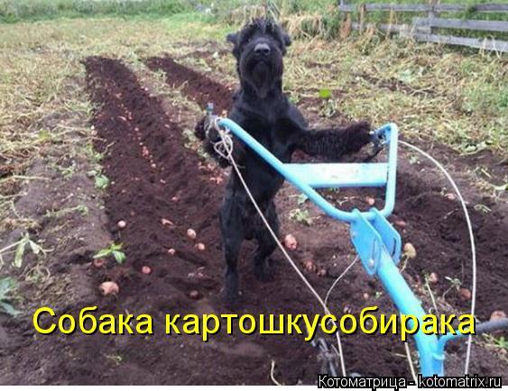 Котоматрица: Собака картошкусобирака