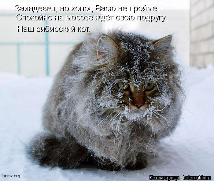 Котоматрица: Заиндевел, но холод Васю не проймёт! Спокойно на морозе ждёт свою подругу Наш сибирский кот.