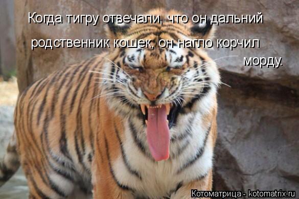 Котоматрица: Когда тигру отвечали, что он дальний родственник кошек, он нагло корчил   морду.