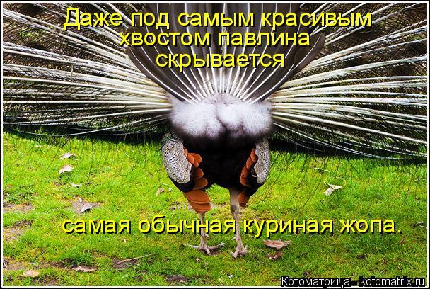 Котоматрица: Даже под самым красивым  хвостом павлина   скрывается   самая обычная куриная жопа.