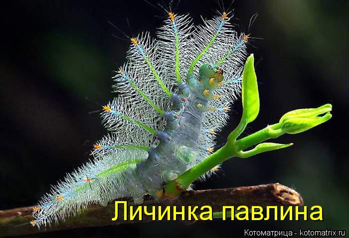 Котоматрица: Личинка павлина