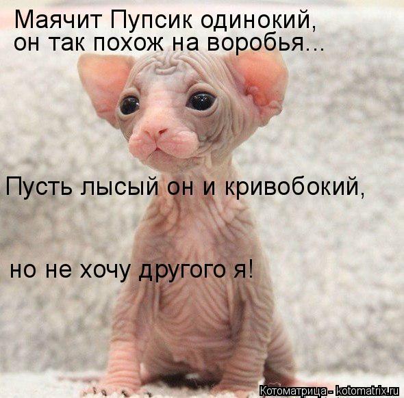 Котоматрица: Маячит Пупсик одинокий,  он так похож на воробья... Пусть лысый он и кривобокий,  но не хочу другого я!