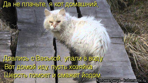 Котоматрица: Да не плачьте, я кот домашний, Дрались с Васькой, упали в воду. Вот домой иду, пусть хозяйка  Шерсть помоет и смажет йодом.