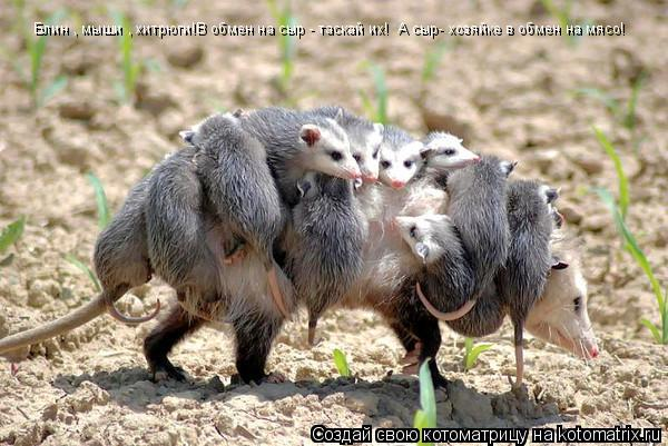 Котоматрица: Блин , мыши , хитрюги!В обмен на сыр - таскай их!  А сыр- хозяйке в обмен на мясо!