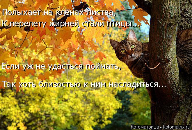 Котоматрица: Полыхает на кленах листва, К перелету жирней стали птицы... Если уж не удасться поймать, Так хоть близостью к ним насладиться...