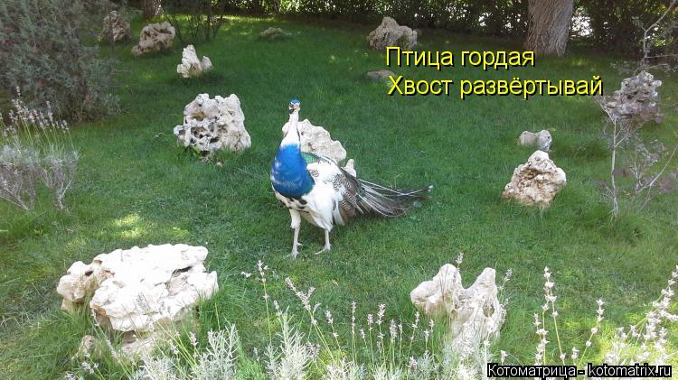 Котоматрица: Птица гордая  Хвост развёртывай