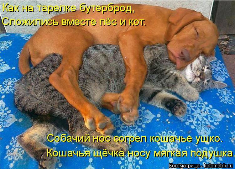 Котоматрица: Сложились вместе пёс и кот. Кошачья щёчка носу мягкая подушка. Собачий нос согрел кошачье ушко. Как на тарелке бутерброд,