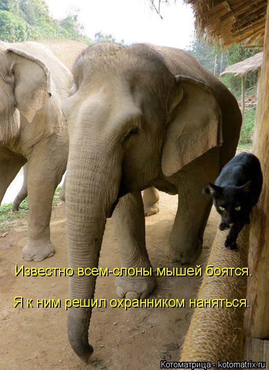 Котоматрица: Известно всем-слоны мышей боятся. Я к ним решил охранником наняться.