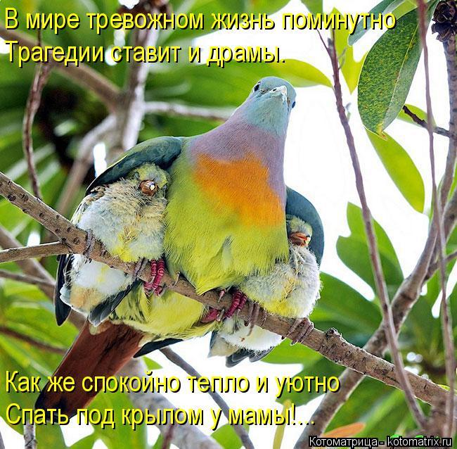Котоматрица: В мире тревожном жизнь поминутно Трагедии ставит и драмы. Как же спокойно тепло и уютно  Спать под крылом у мамы!...