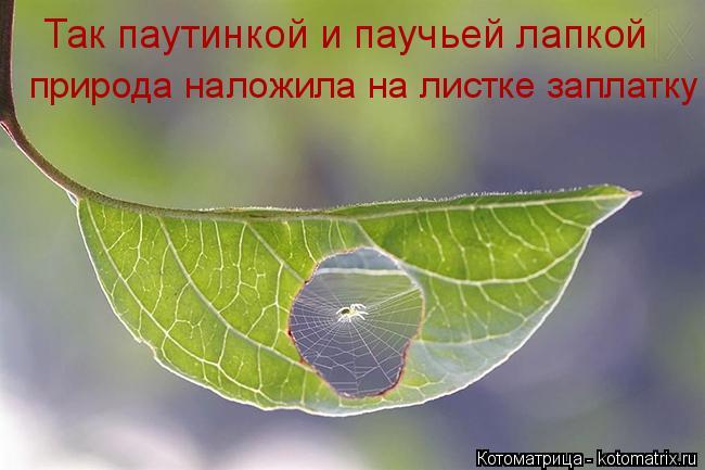 Котоматрица: Так паутинкой и паучьей лапкой природа наложила на листке заплатку