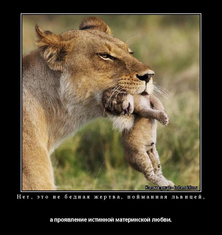 Котоматрица: Нет, это не бедная жертва, пойманная львицей, а проявление истинной материнской любви.