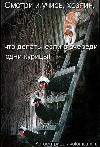 Котоматрица: Смотри и учись, хозяин,  что делать, если в очереди одни курицы!