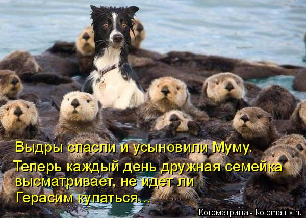 Котоматрица: Выдры спасли и усыновили Муму. Теперь каждый день дружная семейка высматривает, не идет ли  Герасим купаться...