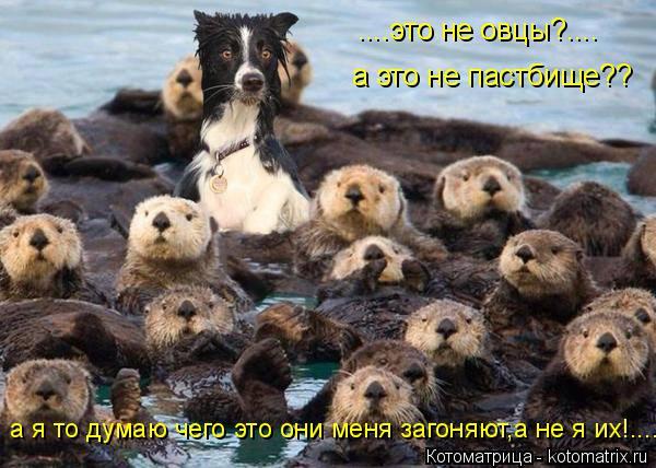 Котоматрица: ....это не овцы?.... а это не пастбище?? а я то думаю чего это они меня загоняют,а не я их!....