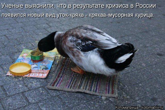 Котоматрица: Ученые выяснили, что в результате кризиса в России появился новый вид уток-крякв - кряква-мусорная курица.